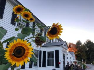 Publick House Sunflowers, 2020